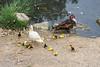 Muscovy duck family (mcgin's dad) Tags: ibiza santaeulalia ducks canon700d