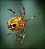 Orb Weaver (Steve4343) Tags: nikon d70 d70s macro 105 mm spider yellow orange black forest woods green tennessee lake watauga cherokee national mountains steve4343