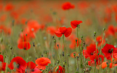 Poppies (Gary Neave.) Tags: poppies