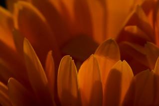 Fleur sans souci, fleur si jolie,