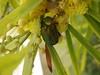 Rosenkäfer an Akazienblüte (fotoculus) Tags: griechenland nördliche sporaden skopelos urlaubsreise juni 2017 insekten käfer rosenkäfer akazien