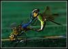 StuckOnYou (VegasBnR) Tags: nikon sigma nature cali dragonfly mate macro green 7200 closeup close geo vegasbnr challengegamewinner