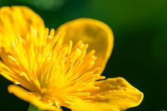 Yellow filaments (Rico the noob) Tags: dof bokeh nature flower switzerland outdoor 105mm calyx zurich macro schweiz published 105mmf28 blossom floral closeup petals d500