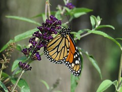 IMG_7788b (Naturecamhd) Tags: canonpowershotsx60hs sx60hs monarchbutterfly monarch newyorkbotanicalgarden nybg insect green eco nature thebronx botanicalgarden botanical garden seasonalwalk
