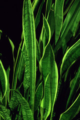 _MG_1888.CR2 (jalexartis) Tags: sansevieriatrifasciata motherinlaw'stongue citronella afterdark dark nightphotography night nightshots camranger lighting gardening cedarfarms