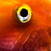 Goldfish eye