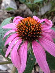 Tickle Me Pink ..... (Mr. Happy Face - Peace :)) Tags: autumn fall gardening flowers leaves thursdayfloral
