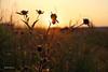 Lever de soleil sur les champs! / Sunrise on the fields... (Pentax_clic) Tags: imgp3580 lever soeil champ pentax kx septembre 2017 robert warren vaudreuil quebec toile
