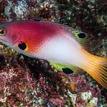 Axilspot Hogfish, terminal phase - Bodianus axillaris thumbnail