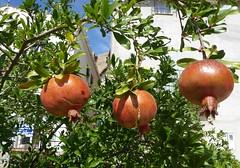 Granatäpfel- pomegranates- granados- magranas (Marlis1) Tags: tivenys marlis1 panasonictz71 pomegranats granatäpfel granandos fruit baixebre pomegranates grenade magrana punicagranatum