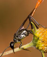 Thread-wast Wasp (elderkpope) Tags: ngc macrodreams macro close canon insect insects bug bugs wasp outdoors backyard nature utah
