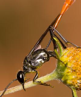 Thread-wast Wasp