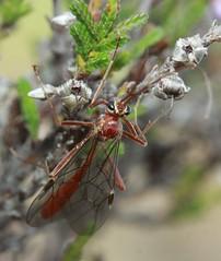 red ichneumon indet cf Ophion sp ichneumonidae (BSCG (Badenoch and Strathspey Conservation Group)) Tags: acm insect hymenoptera ichneumon ophioninae heathland heather