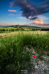L'ultimo papavero in una tarda sera d'estate (Danilo Agnaioli) Tags: umbria italia estate papaveri colline verde