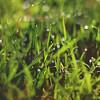 256 : 365 : VI (Randomographer) Tags: project365 nature grass green moist wet droplet drip water blade grow bokeh 50mm 256 365 vi prime