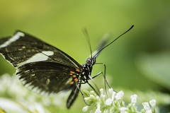 20170928_F0001: The butterfly drinking straw (wfxue) Tags: smithsonian nationalmuseumofnaturalhistory butterflypavilion museum animal plant butterfly flowers insect eyes proboscis nature biology science macro
