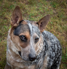 """Momma, why would you think.... (knoxnc) Tags: bokeh portrait bestfriend closeup love pet browneyes blueheeler knox outisde 145 fur nikon d7200 famiypet"