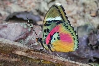 Euphaedra hebes (Hebes Pink Forester)