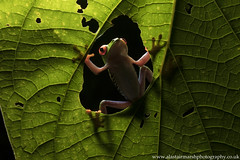 Red Eye Tree Frog (Alastair Marsh Photography) Tags: redeyedtreefrog redeyedtreefrogs treefrogs treefrog frog frogs frogportrait amphibian amphibians reptile reptiles redeyetreefrog redeyetreefrogs nocturnal nocturnalfrog nocturnalfrogs nocturnalamphibian nocturnalamphibians nocturnalanimal nocturnalanimals costarica costaricanfrog costaricanfrogs centralamerica jungle rainforest rain rainfall forest