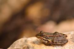 Pelophylax perezi-Rã verde (jotneb) Tags: rã natureza animais vidaselvagem anfibios agua portugal