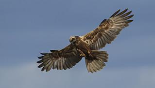 Marsh Harrier - Deadly beauty