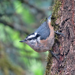 Red-breasted Nuthatch thumbnail