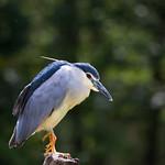Black-crowned night heron thumbnail