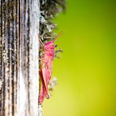 Grasshopper in macro (Zeeyolq Photography) Tags: insect france grasshopper jura lesrousses macro nature sauterelle wildlife bourgognefranchecomté fr