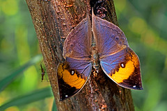 Kallima inachus - the Indian or Orange Oakleaf (male) (BugsAlive) Tags: butterfly mariposa papillon farfalla schmetterling бабочка conbướm ผีเสื้อ animal outdoor insects insect lepidoptera macro nature nymphalidae kallimainachus orangeoakleaf nymphalinae wildlife doisutheppuinp chiangmai liveinsects thailand thailandbutterflies ผีเสื้อใบไม้ใหญ่อินเดีย เชียงใหม่