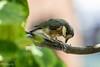 Varied tit (baby bird) (Yorkey&Rin) Tags: 2017 7月 babybird bird em5 inmygarden japan july kanagawa olympus olympusm75300mmf4867ii rin u7227132 variedtit ヤマガラの幼鳥 庭