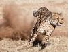 namibia 2017 (mauriziopeddis) Tags: africa namibia cif cheetah conservation found cats ghepardi felini animal animals canon run runner running hunter hunting bush savana safari wildlife nature