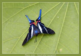 Sword-tailed beautymark