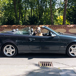 Golden Retriever as a front-seat passenger in a convertible thumbnail