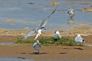 Incoming Common Tern