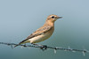 Tapuit  (Wheatear) (Rob Zweers) Tags: oenantheoenanthe traquetmotteux northernwheatear tapuit steinschmätzer collalbagris culbianco chascocinzento bergerden lingezegen watermark