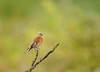 Linotte mélodieuse - Common Linnet (Linaria cannabina) (Ziza !) Tags: oiseau oiseaux bird birds passereau linotte linottemélodieuse linariacannabina commonlinnet
