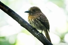 _DSC3040 (P2 New) Tags: 2016 animaux costarica date décembre oiseaux parcnationalcarara pays tamatiadelafresnaye provinciadepuntarenas