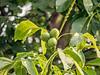 Walnuts (niloc's pic's) Tags: walnuts tree nut juglansregia green leaves bexhillonsea eastsussex panasonic lumix dmcgh4r
