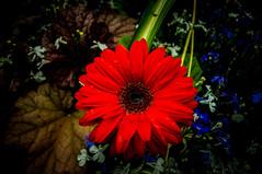 Rouge Floral Boudoir (Half A Century Of Photography) Tags: rougefloralboudoir boudoir rouge floral red flower petal petals rain drips drops drop droplet nature garden