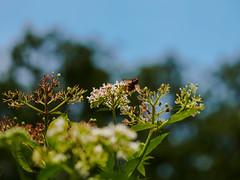 ...und kleines Hummelchen (mohnblume2013) Tags: hummel insekt blüten blume garten fokus bokeh