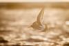 Oystercatcher - Haematopus ostralegus (L.Mikonranta) Tags: haeost haematopus ostralegus meriharakka eurasian oystercatcher birds norway lofoten