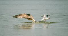 Seagulls on the Danube (Inka56) Tags: birds seagulls river danube