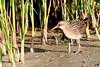 râle d'eau ( Rallus aquaticus ) Erdeven 170902r2 (papé alain) Tags: oiseaux échassiers rallidés râledeau rallusaquaticus waterrail erdeven morbihan bretagne france