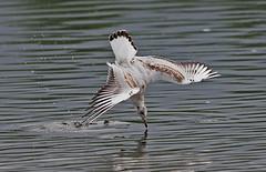 Common Gull Diving....3 (Scuba`Steve`) Tags: