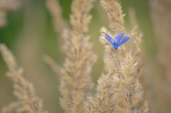 common blue (epioxi) Tags: epioxi butterfly commonblue nature schmetterling
