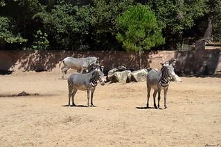 Zèbres de Grévy - Afrique (Ethiopie, Kenya)