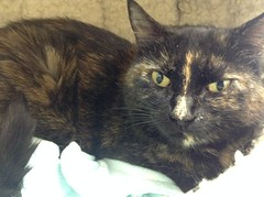 Lilly - 7 year old spayed female