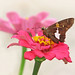 Silver-spotted skipper in pink zinnias