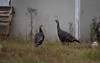 1G1A0481.jpg (aboulenein) Tags: wildturkeys wos sanjuanislands lopezisland