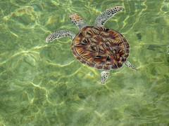Cayman Turtle Farm (JavaJoba) Tags: canon caymanislands caymanfam grandcaymanisland jackkennard travel travellocal turlle atlanta ga usa caymanturtlefarm caymanturtlecentre boatswain's milksang dotinspace